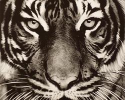 Robert Longo,Tiger, 2011