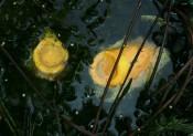 Oculis Fundis (Botanica)