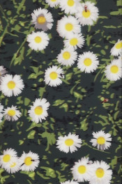 French Landscapes: Daisies