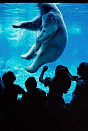 Polar Bear in Central Park Zoo, New York