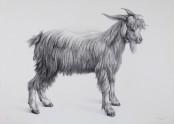 Cabra (goat)