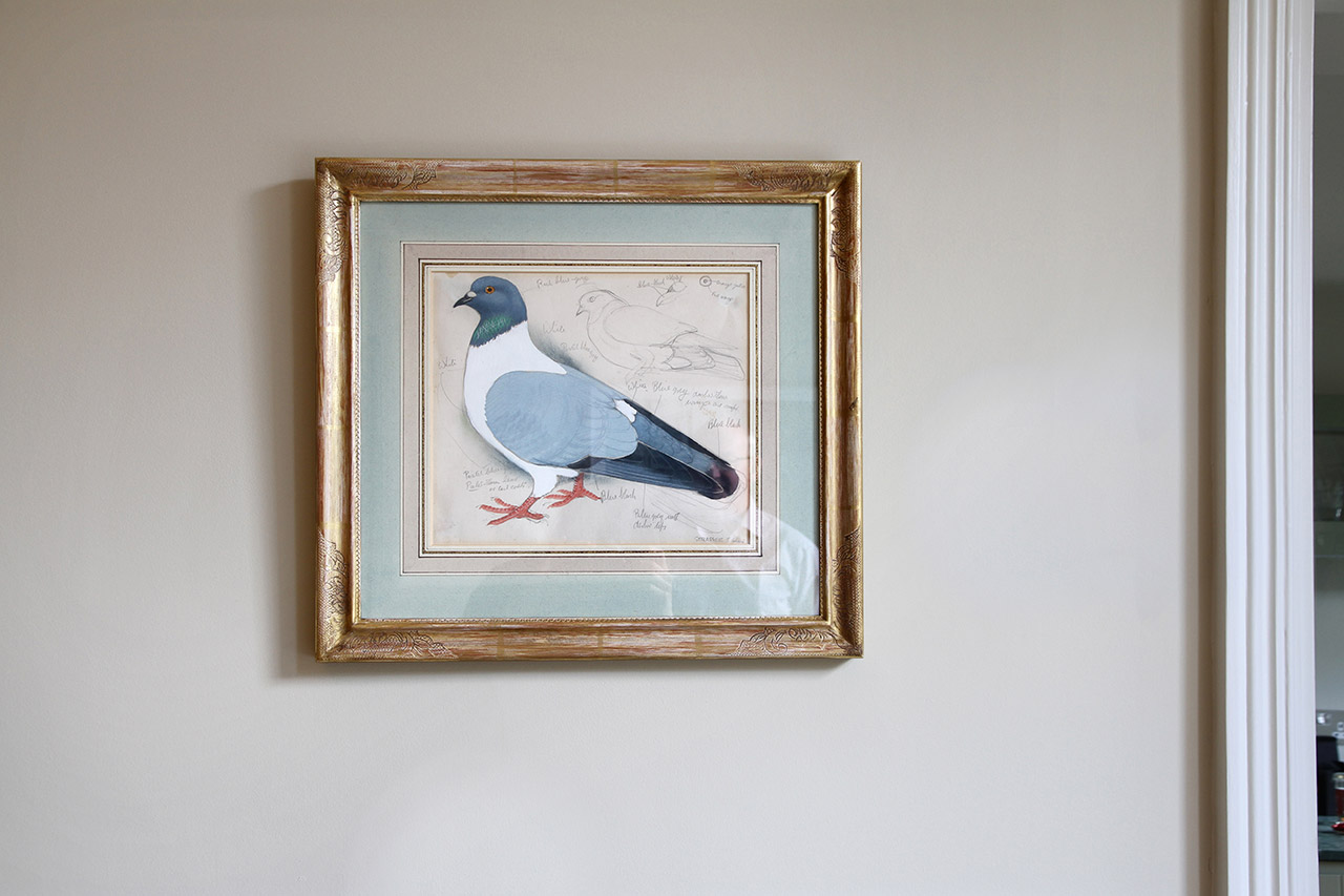 Pigeon by Charles Tunnicliffe
